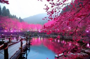 Fioritura-dei-ciliegi-in-Giappone-Reporter-Live-3